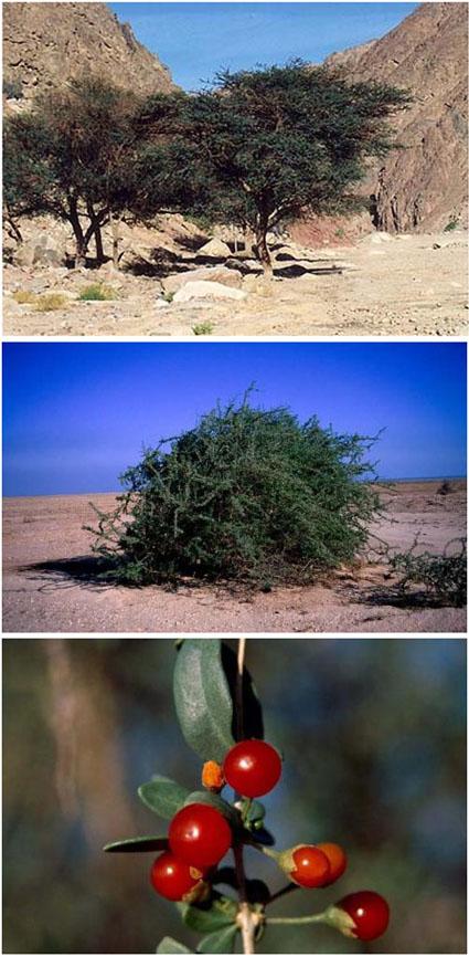 Dia kecuali pohon ghorqod sesungguhnya dia adalah pohon yahudi